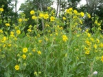 Wildflowers along Path