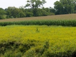 Wildflowers & Cornfields